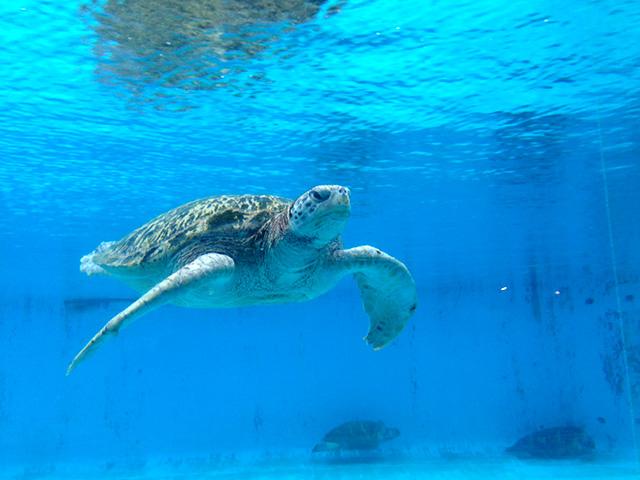 美ら海水族館のウミガメ